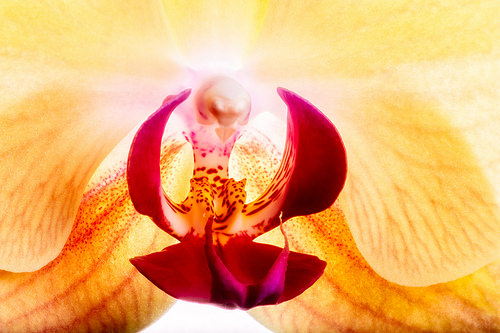 胡蝶蘭の花言葉の由来