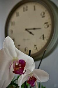 即日配達の胡蝶蘭
