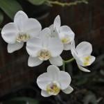 胡蝶蘭の花言葉を知ることで適切な胡蝶蘭を選ぼう!