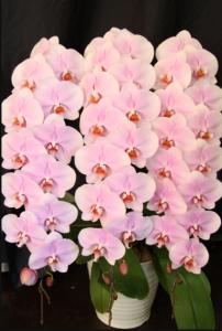 pink 胡蝶蘭