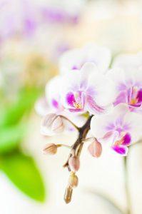 長く持つ胡蝶蘭