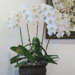 胡蝶蘭をお手入れして毎年楽しめる花にする為にすること
