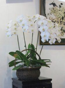 胡蝶蘭の二年花