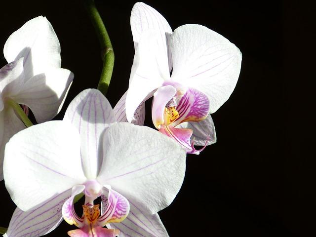 挙式当日の胡蝶蘭