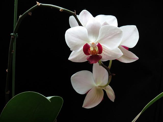 真ん中赤い胡蝶蘭