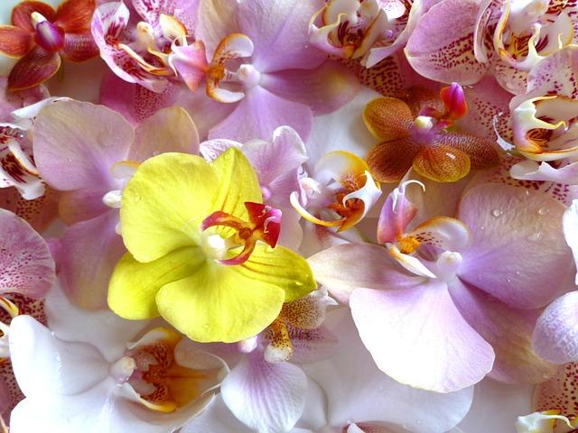 胡蝶蘭の名前の由来。ファレノプシスってなに?