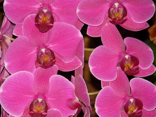 胡蝶蘭のピンク色、その人気に迫る!