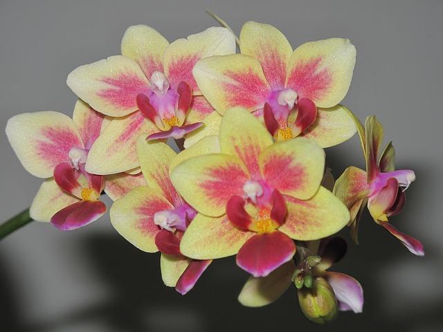 意外と長い!?胡蝶蘭の花ってどれくらいもつもの?