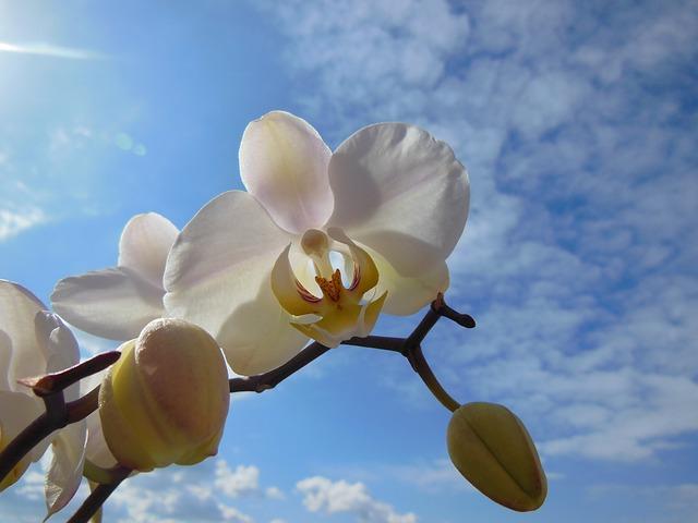 胡蝶蘭の寿命ってどのくらいあるの??少しでも長く楽しむための秘訣とは?
