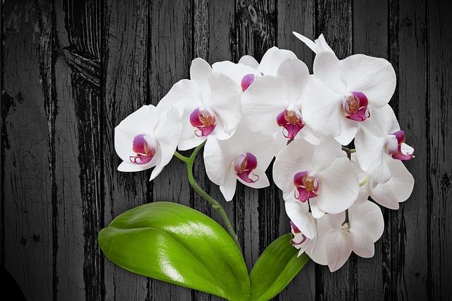 胡蝶蘭に花芽を付ける方法と管理の仕方