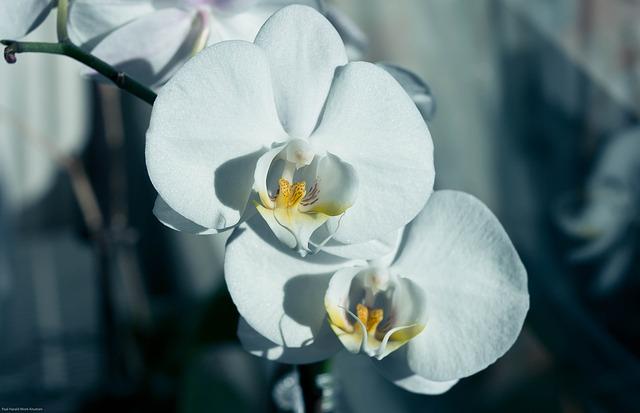 胡蝶蘭が咲く季節っていつ?季節ごとの胡蝶蘭の様子を見てみよう