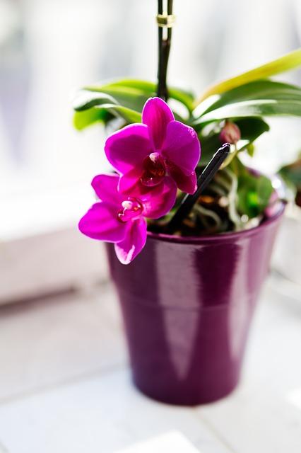 マイクロ胡蝶蘭って普通の胡蝶蘭と何が違うの?