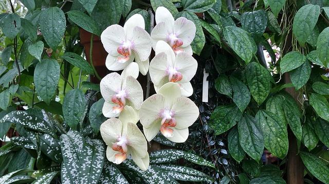 胡蝶蘭の植え方。まずは「根」の特徴を知ろう