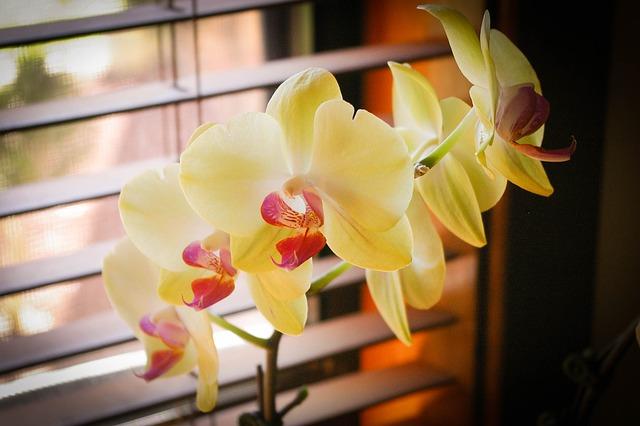 胡蝶蘭、毎日のお世話の簡単なポイント!