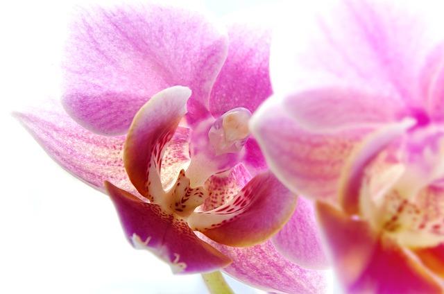 一年中目にすることができる胡蝶蘭の開花時期っていつ?もう一度咲かせるためには?