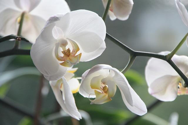 胡蝶蘭の成長期