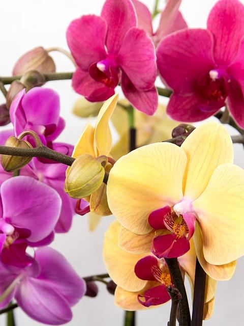 胡蝶蘭の管理方法・育て方。花が咲いている時と枯れた時では違う?