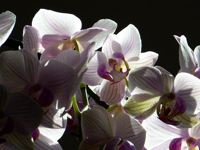 胡蝶蘭は葬儀に贈っても良いお花なの?