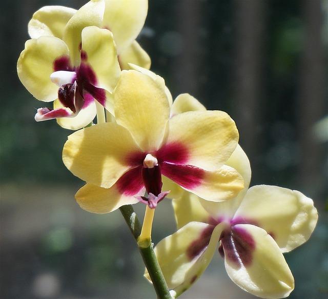 長い間胡蝶蘭を楽しむコツ