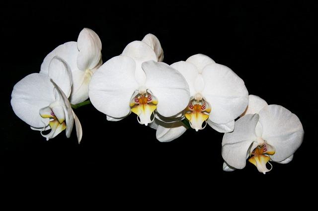 胡蝶蘭の花が咲いてからの花の向き
