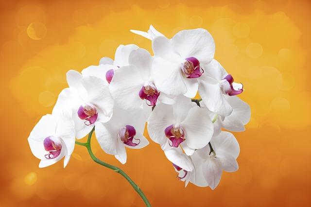 胡蝶蘭を咲かせる