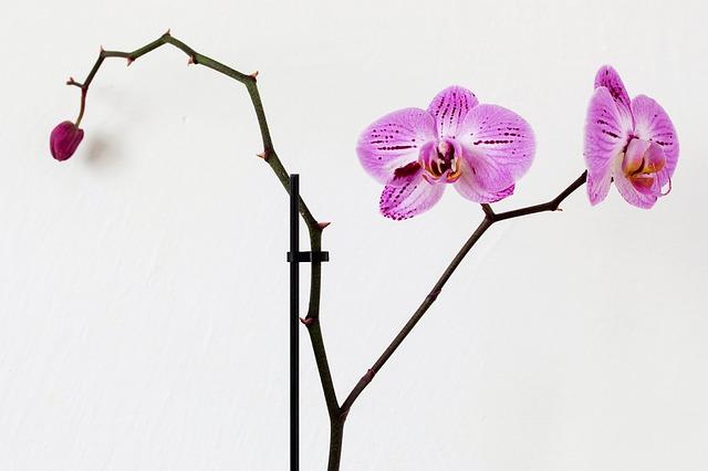 胡蝶蘭二番花からの花の向き