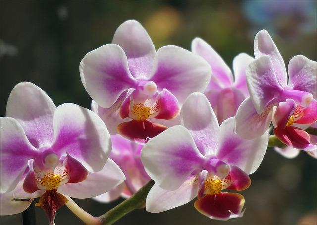 胡蝶蘭の花を長く楽しもう!長持ちする育て方とは?