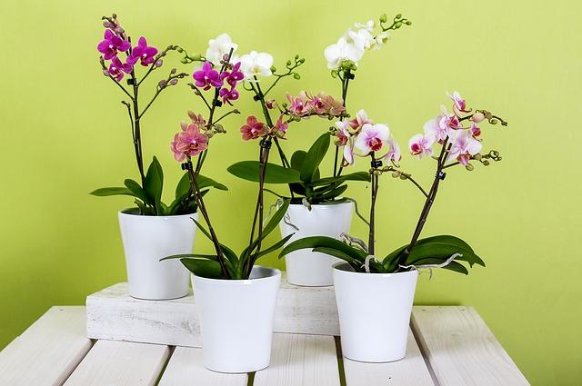 胡蝶蘭の花が咲かない理由