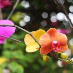 胡蝶蘭は海外と日本では違いがあるのかみていこう!