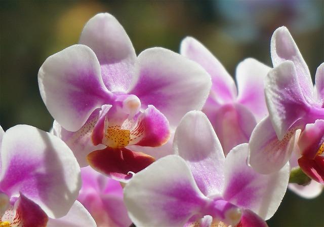 花の有り無しで違う!? 知って損はしない胡蝶蘭の管理方法