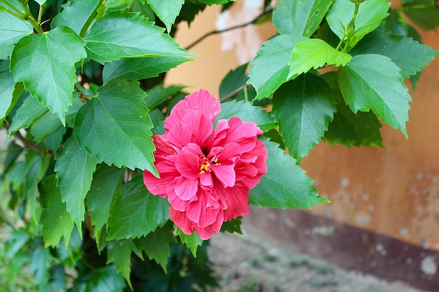 オーキッドのお花の種類の代表は胡蝶蘭?