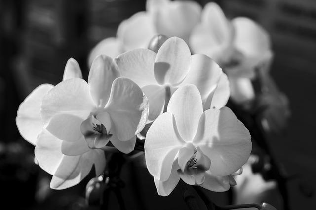 胡蝶蘭の葉が黒くなってしまったら。その原因と解決法
