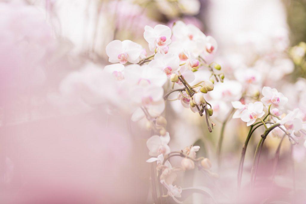 胡蝶蘭の花の数