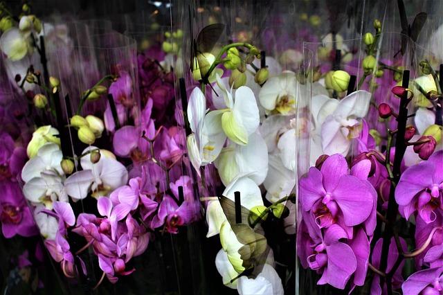 どうして胡蝶蘭はお祝い花として人気なの?