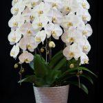 シーンにふさわしい定番の胡蝶蘭の選び方