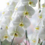 胡蝶蘭の栽培の仕方