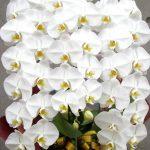 お祝い花としての胡蝶蘭について