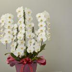胡蝶蘭のサイズと色の種類
