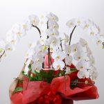 フェイク胡蝶蘭の魅力