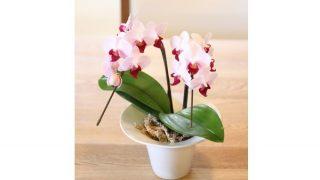 プレゼントにお勧めな手のひらサイズの胡蝶蘭