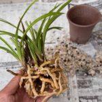 胡蝶蘭の根腐れの原因は何?症状と対処法について