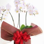 幸福を呼ぶ花?胡蝶蘭の値段、贈り方