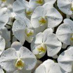 胡蝶蘭の基本的な手入れから季節・害虫ごと手入れのポイント