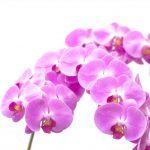 胡蝶蘭を長持ちさせる季節ごとの温度管理について