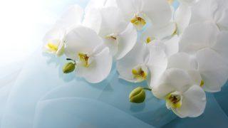 胡蝶蘭の水栽培のやり方と注意点