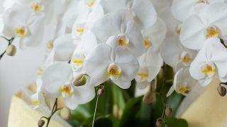 胡蝶蘭で豪華を演出!どのような場面で使われるの?