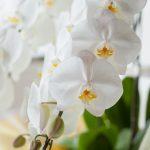 胡蝶蘭のお手入れ方法のポイント
