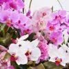 ピンク系の胡蝶蘭選びにはオーキッドファンがおすすめ!特徴を大紹介