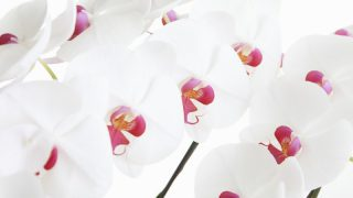 安心して胡蝶蘭を購入したい方必見!オンラインフラワーショップ「サライ」とは?