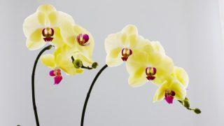 ミニ胡蝶蘭を通販で買おう!人気な理由と通販で買う時の注意点
